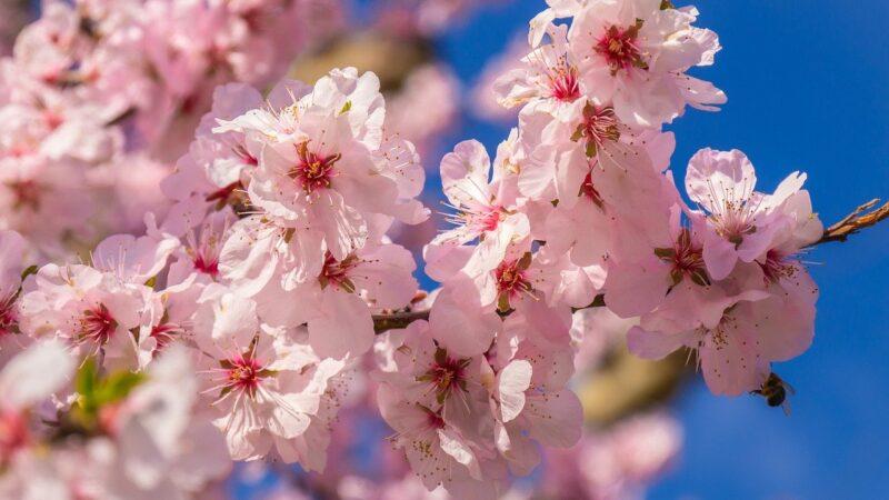 Cherry blossom on tree close up